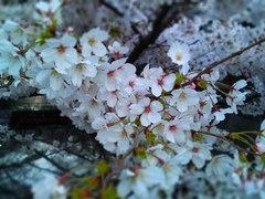 sakura20110405_01.JPG